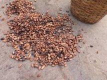 Fleurs de cacao mises à sécher au soleil
