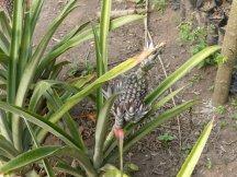Plant d'ananas