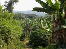 Plantation de bananiers